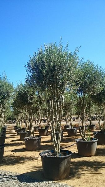 Olea europaea_umbrella