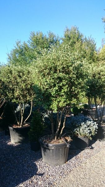 Quercus ilex_175200umbrella2