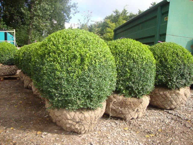 Buxus sempervirens _BOL120