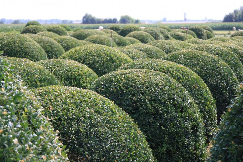 Buxus sempervirens_BOL130140