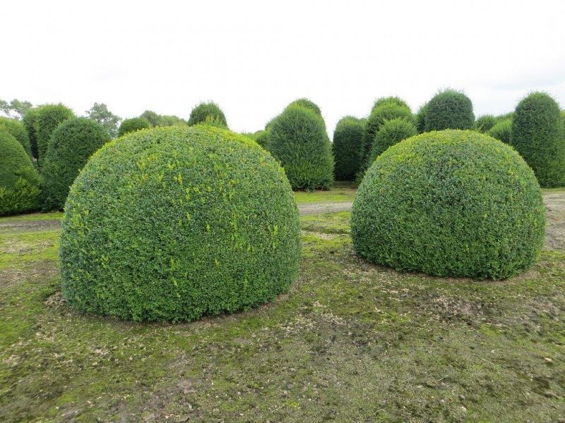 Buxus sempervirens_BOL200