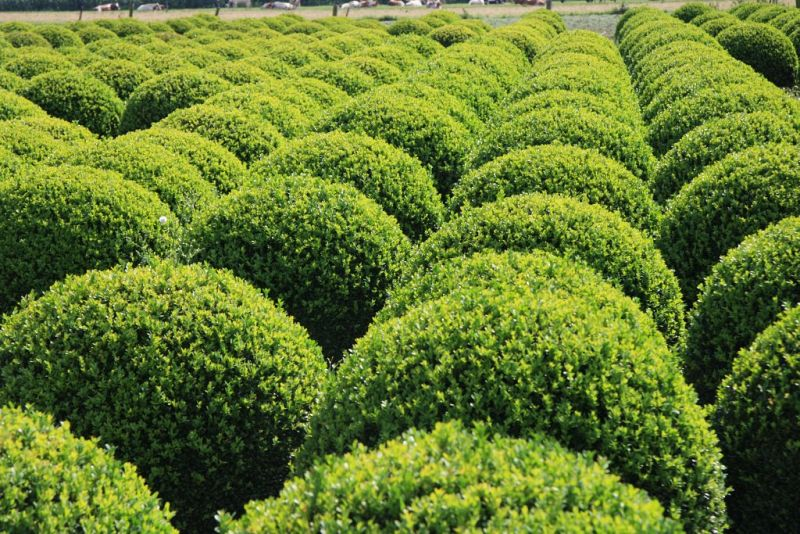 Buxus sempervirens_BOL8090