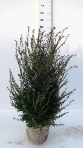 Taxus Baccata 80-100 KL[1]