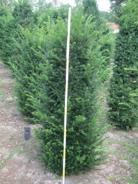 Taxus baccata_125150extra