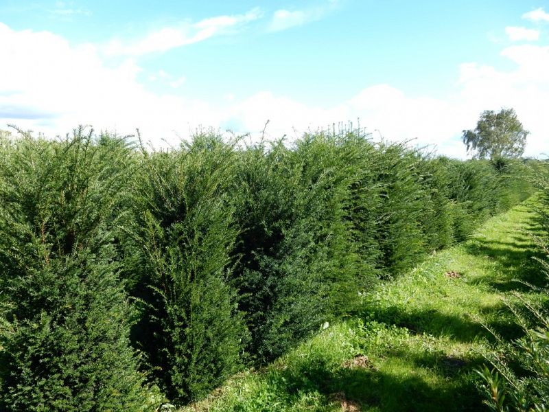 Taxus baccata veld_150175extra