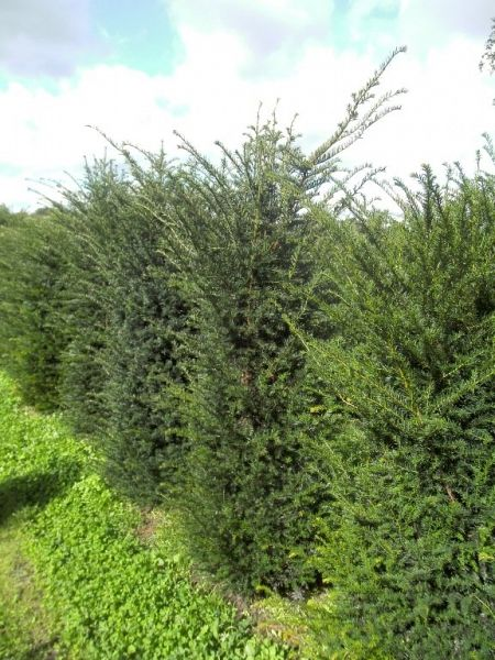 Taxus baccata_150175extra