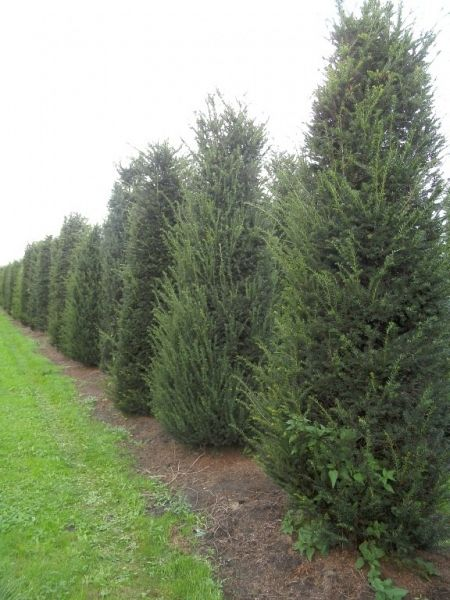 Taxus baccata_250300