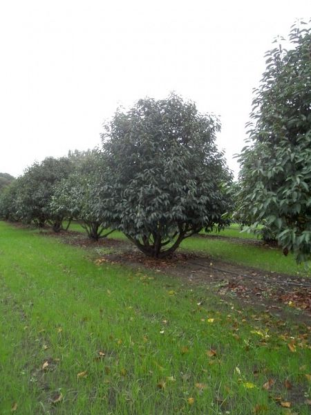 Prunus lusitanica_400plus