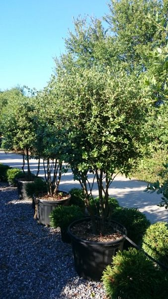 Quercus ilex_175200umbrella